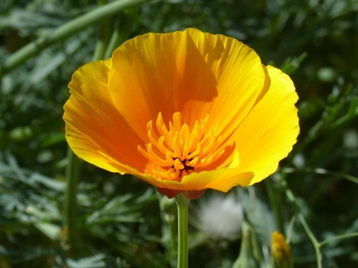 En este momento estás viendo AMAPOLA DE CALIFORNIA (Eschscholzia califórnica),